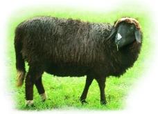牛羊骆驼0060